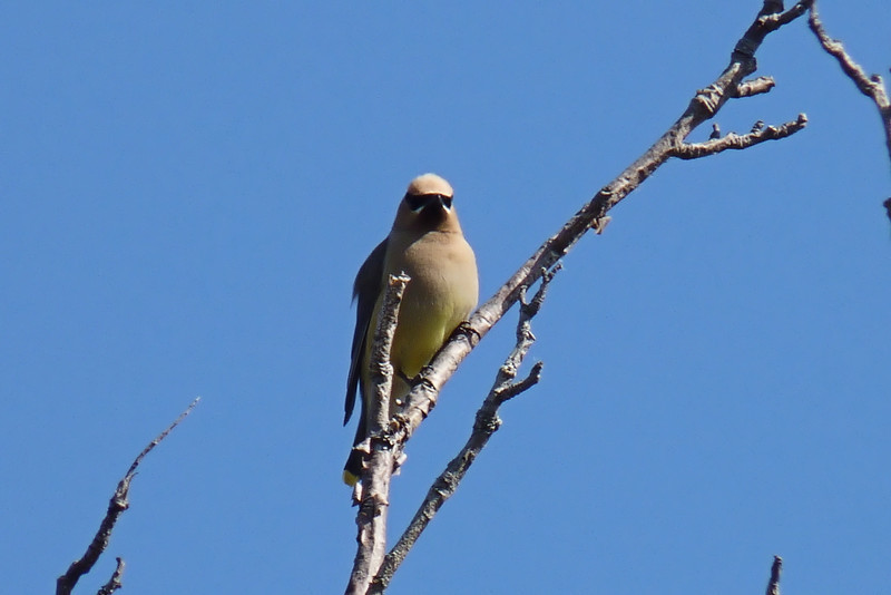 We were delighted to discover Mountain Ash trees covered with Cedar Waxwings, including this nice adult!