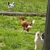 Ah!  Here is the rooster who protects the chickens that laid the eggs for our lunch!  Thanks, Girls!