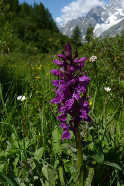 Broad-leaved Marsh Orchid (Dactylorhiza majalis var. alpestris)