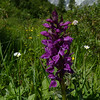 Broad-leaved Marsh Orchid (Dactylorhiza majalis var. alpestris)
