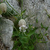Bladder Campion (Silene vulgararis)