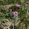 Alpine Coltsfoot (Homogyne alpina)