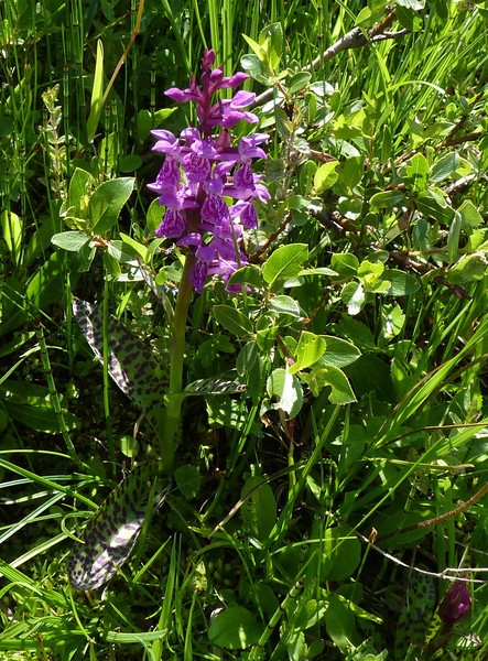 This flower's leaves are almost a beautiful as its bloom!  They're the spotted leaves in the photo.   Broad-leaved Marsh Orchid (Dactylorhiza majalis var. alpestris).