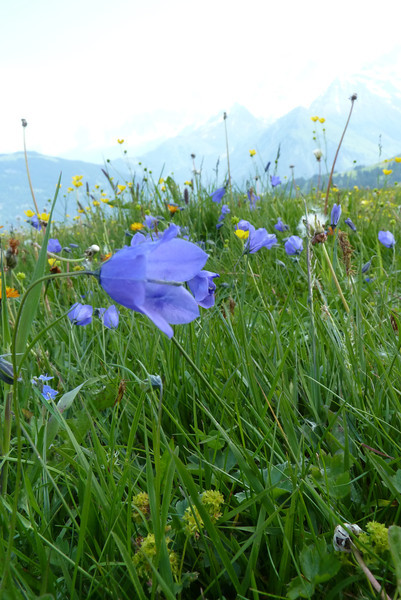 And so the flowers begin, with a harebell...