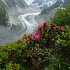 Alpenrose (Rhododendron ferrugineum) and the Mer de Glace