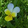 Alpine Pansy (Viola Calcarata)
