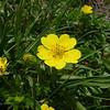Golden Cinquefoil (Potentilla aurea)