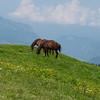 Domesticated horse (Equus ferus caballus)