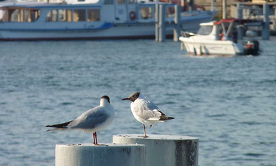 Two black-headed gulls (could you have figured that out by yourself?)