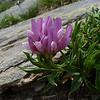 Alpine Clover (Trifolium alpinum)