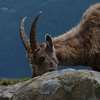 The ibex has relaxed and gone back to munching.
