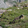 There are two Alpine Marmots (Marmota marmota) in this picture...can you find them both?