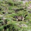 Alpine Marmot (Marmota marmota) - scampering about