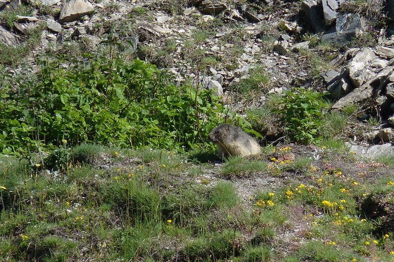 Alpine Marmot (Marmota marmota) - poking its head back out of its burrow after some fellow hikers joined us and startled it.