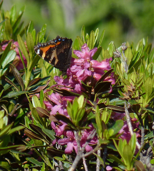 Butterfly:  Small Tortoiseshell (Aglais urticae) and Alpenrose (Rhododendron Ferrugineum)