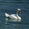 And find a Mute Swan instead