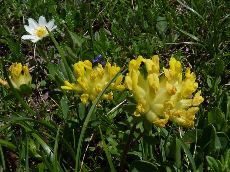Alpine Kidney Vetch (Anthyllis vulneraria ssp. alpestris)