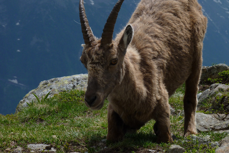 According to Wikipedia, the Alpine ibex (Capra ibex) is also known as the steinbock.