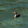 And Red-crested Grebe