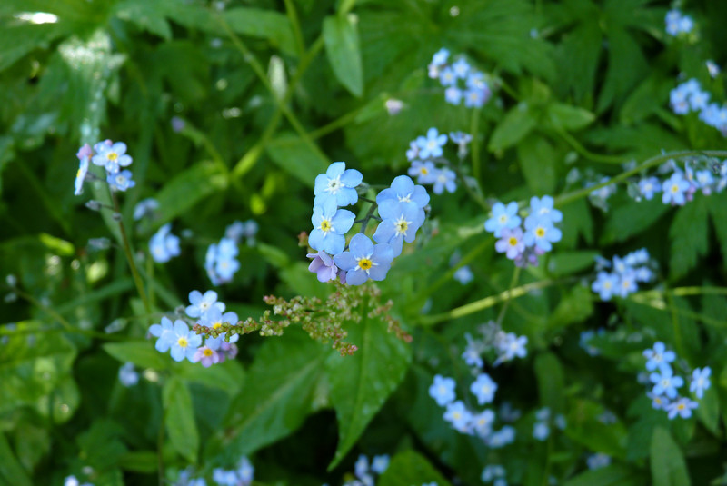 Alpine Forget-me-not (Myosotis alpestris).  Patti has decided that she is not likely to forget this trail, as it is already lining up as one of her top trails ever!