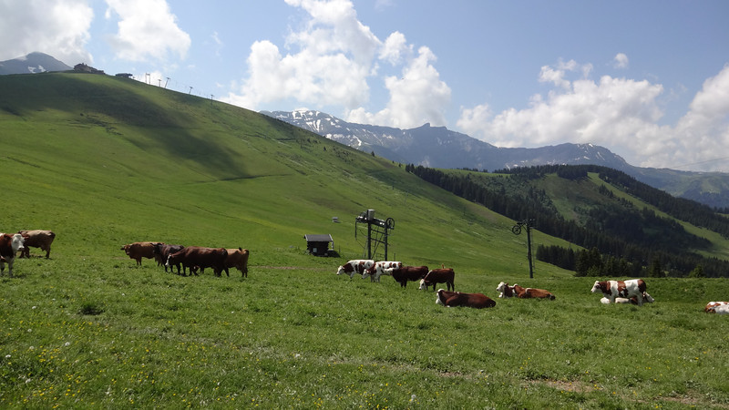 Cows with ski lift equipment in the background.  You can see where the slopes will be come winter.