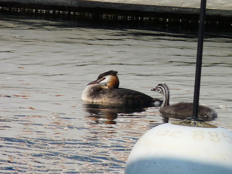 Great-crested Grebe with his chick