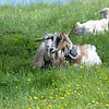 Even the goats get to wear cool bells in the Alps!