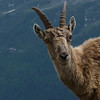 The ibex has such pretty big brown eyes.