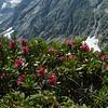 Alpenrose (Rhododendron ferrugineum)