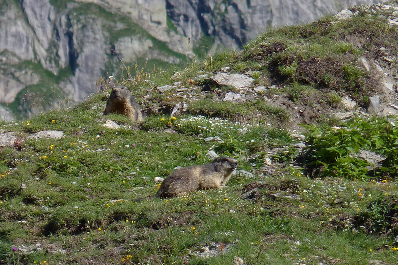 They're keeping a close eye on us, but they're incredibly cute!  Alpine Marmot (Marmota marmota)