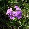 Birdseye Primrose (Primula farinosa)