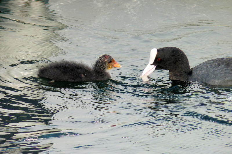 Mom or Dad Eurasian Coot feeding the young'un.