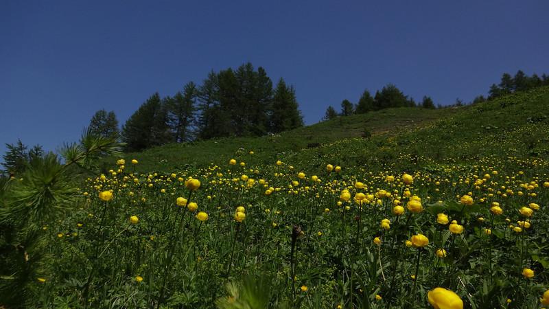 A field of Globeflowers (Trollius europaeus)