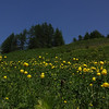 A field of Globeflowers (Trollius europaeus)