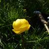 European Globeflower (Trollius europaeus)