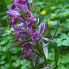 Orchid that has seen better days...maybe Elder-flowered Orchid (Dactylorhiza sambucina)