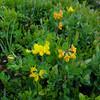 Birdsfoot Trefoil (Lotus alpinus)