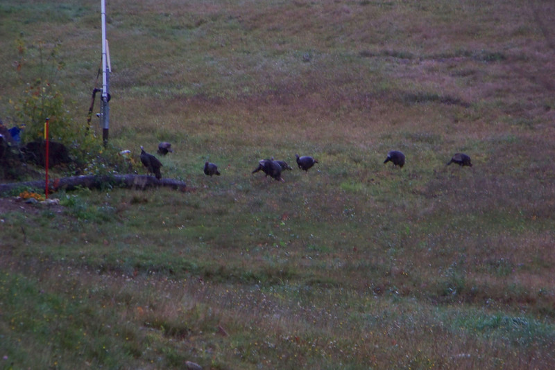 This flock of Wild Turkeys was hanging out at Bretton Woods.