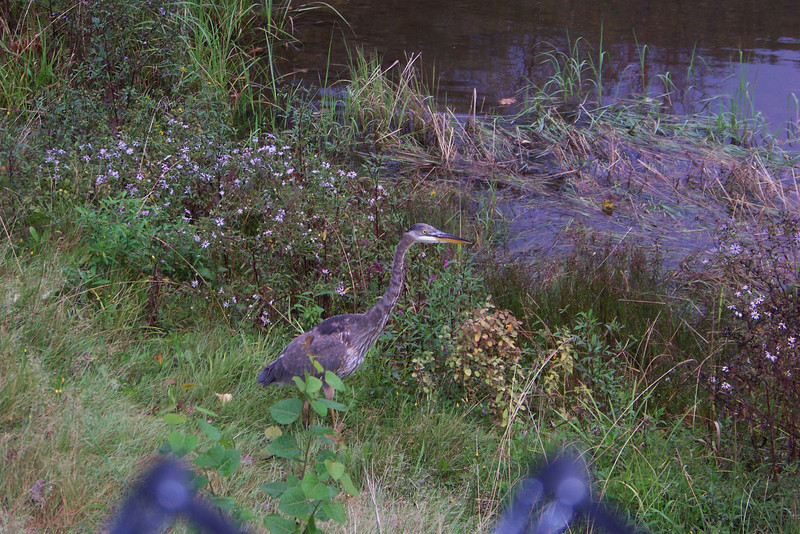 As we finished our drive, we found this Great Blue Heron in a small pond in Lincoln, New Hampshire