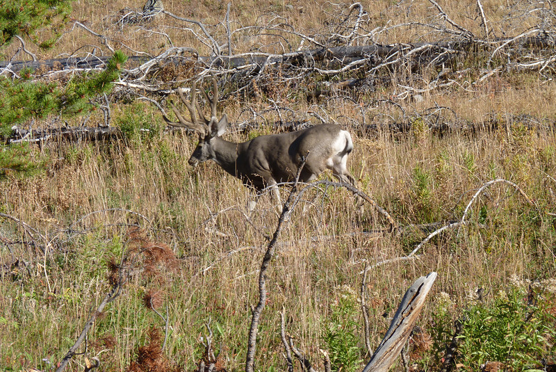 Day 3: August 28th - We left early in the morning to start our hike to Avalanche Peak...with little other traffic on the road, this mule deer didn't cause a jam.
