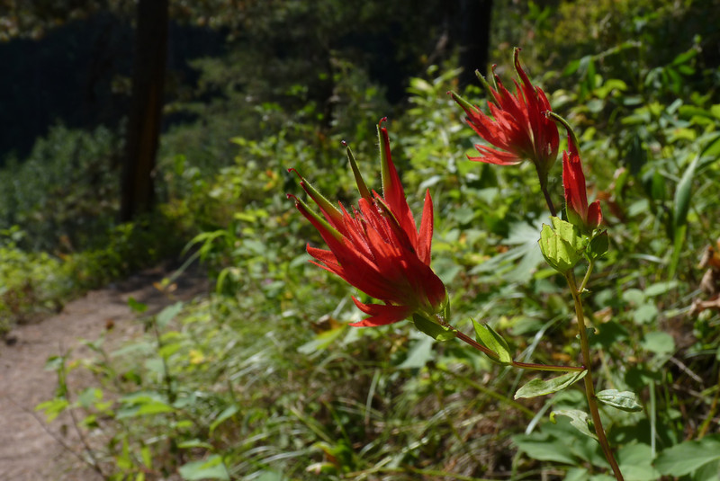 Since there are a couple dozen (or more) species of Indian Paintbrush, we'll just identify the genus as Castilleja.