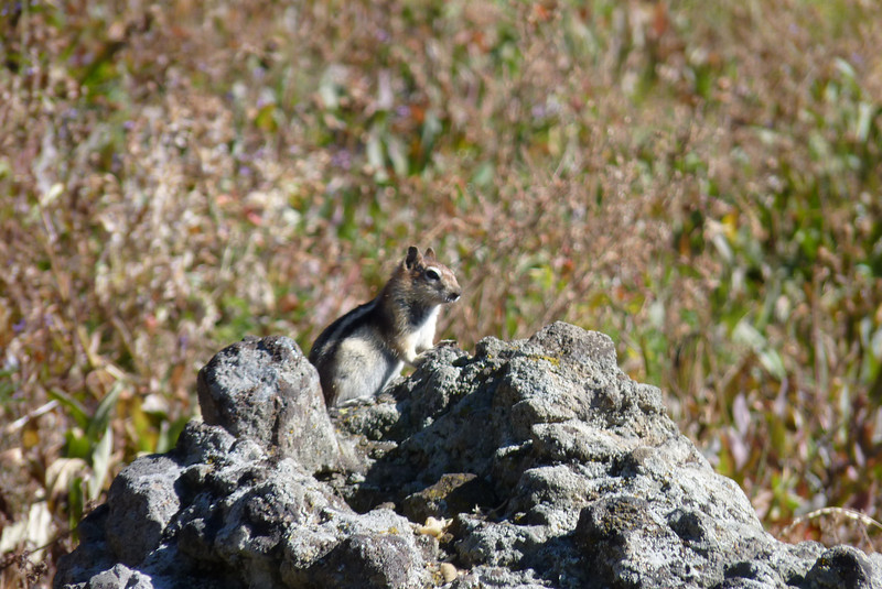 """This golden-mantled ground squirrel entertains as he entreats us with, """"will pose for peanuts?"""""""