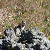 "This golden-mantled ground squirrel entertains as he entreats us with, ""will pose for peanuts?"""