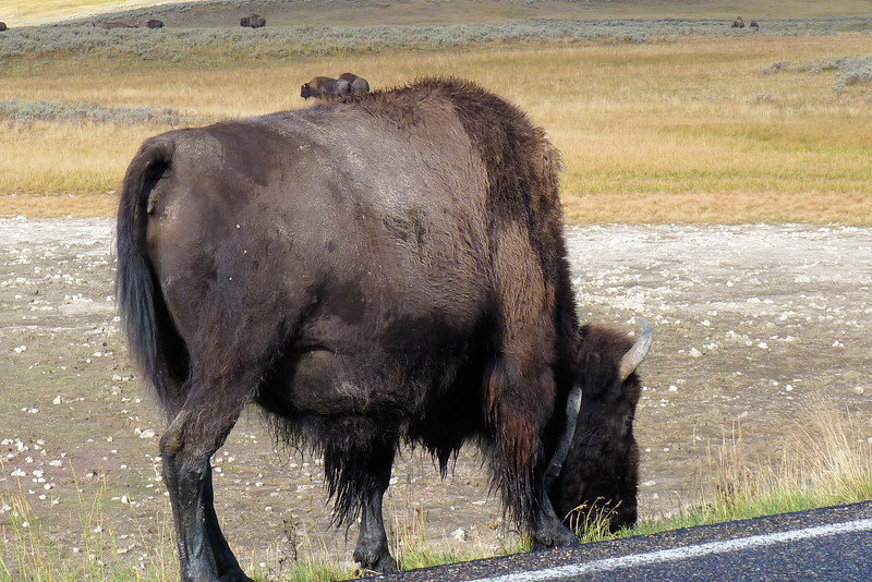 Day 2: August 27th, and our first bison sighting of the trip!  Note the radio collar on this big guy...