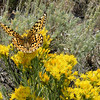 A fritillary butterfly of some sort visits the Rabbitbrush.
