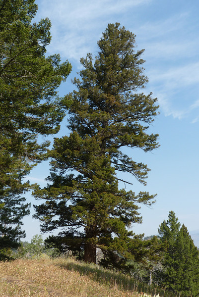 We just like this big ol' magnificent pine.