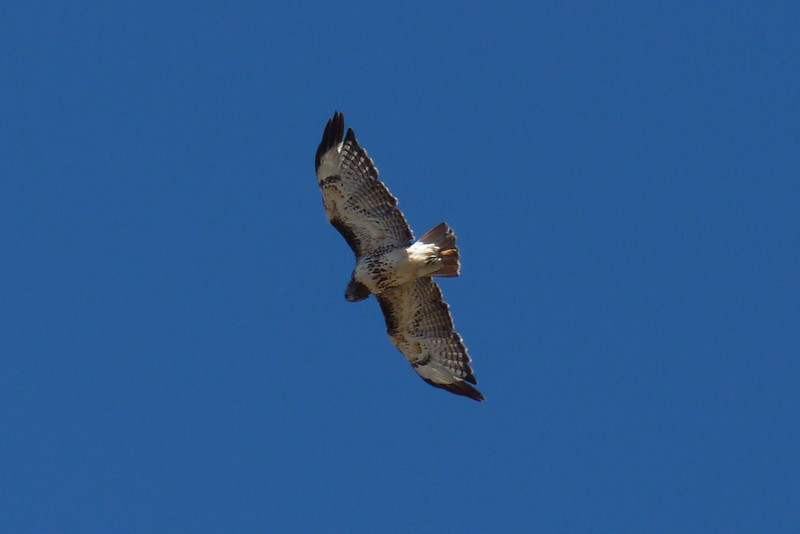 Great view of classic markings--belly band, black wing tips, patagial marks, reddish tail...