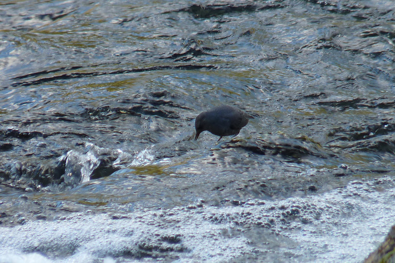He stands on rocks in the middle of fast flowing streams and fishes...often submerging himself entirely.