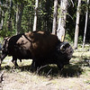 Nice big bull bison...and nice zoom on the camera