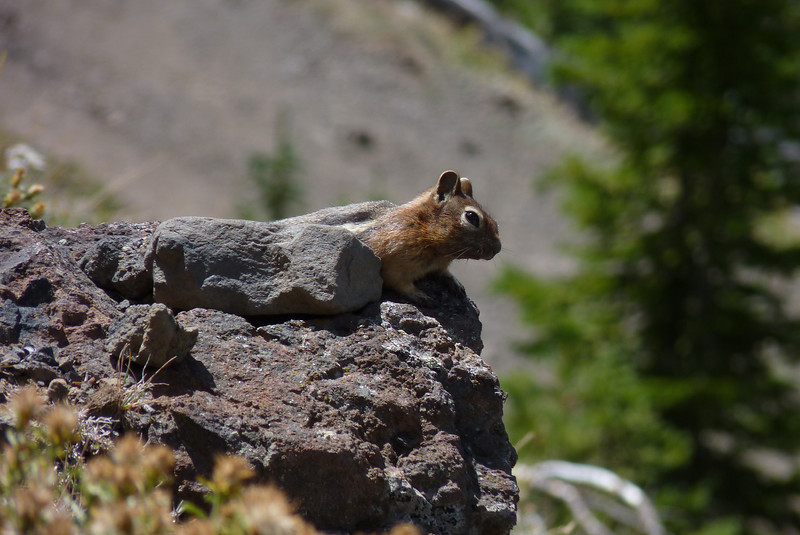 A golden-mantled ground quirrel watches with interest...wondering if anyone has left a pack with snacks unguarded...